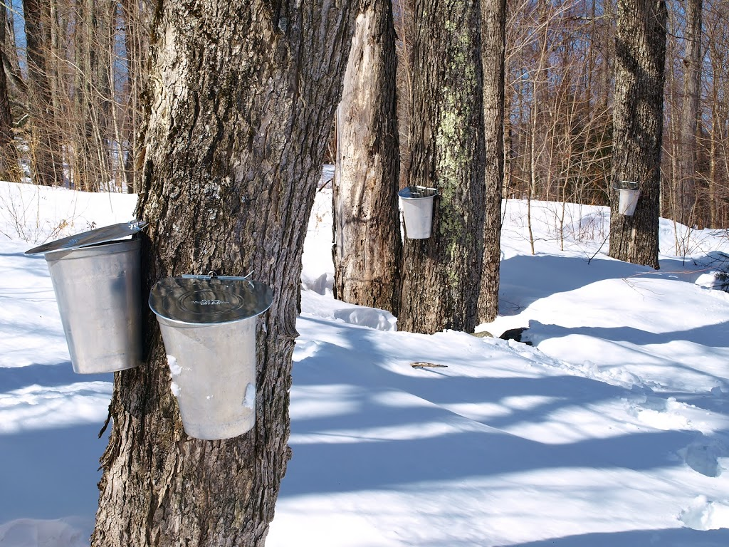 6ca04fb3a88 Sugaring is the bridge between New England s merciless months and our more  forgiving April and May. Sugar maple ...