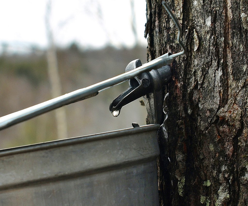 4ddee40a580 Whether you make pure maple syrup in high volume using the latest  technology or whether you are just a backyard hobbyist like me